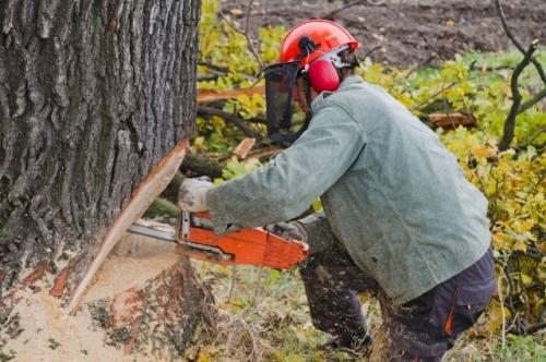 Wycinka 10-letnich drzew